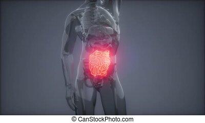 humain petit intestin, radiologie, examen