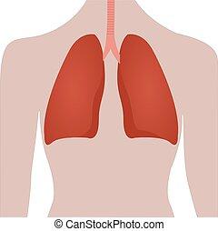 humain, poumons, emplacement