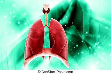 humain, poumons, render, 3d