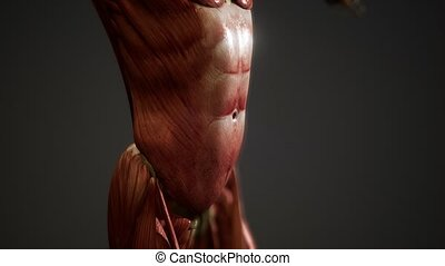 humain, système musculaire, animation, corps