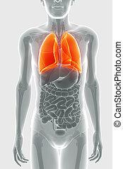 humain, système respiratoire, poumons