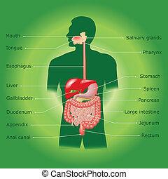 humain, vecteur, système, digestif