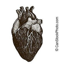 Human anatomical heart isolated on white background. Vintage...