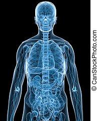 human anatomy - 3d rendered anatomy illustration of a...
