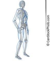 human anatomy - 3d rendered illustration of a human skeleton