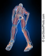 human anatomy - 3d rendered illustration of a human skeleton...