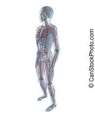 human anatomy - 3d rendered illustration of a human skeleton...