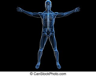human anatomy - 3d rendered illustration of a male skeleton