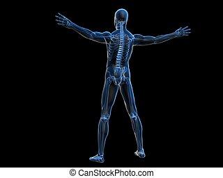 human anatomy - 3d rendered illustration of a male skeleton