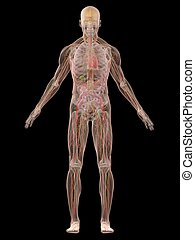 human anatomy - 3d rendered illustration of a transparent...