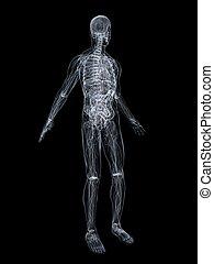 human anatomy - 3d rendered illustration of a transparent...