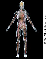 human anatomy - 3d rendered illustration of a transparent ...