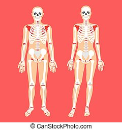 Human anatomy and skeletal system