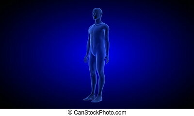 Human Anatomy Body 3D Scan render on blue background.- rotating seamless loop