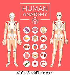 Human anatomy. Body, organs, etc.