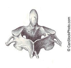 human anatomy - cervical vertebra - a sketch in black and...