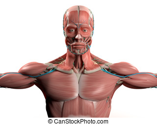 Human anatomy chest muscular system