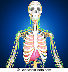Human Anatomy - In mammals, the skin is an organ of the...