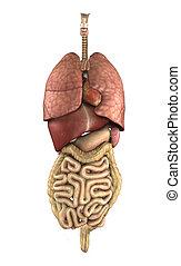 Human Anatomy: Internal Organs - 3D render depicting the ...