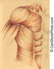 human anatomy - muscles of the ches - A sketch realized by ...