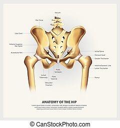Human Anatomy of the Hip Vector Illustration