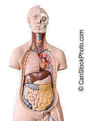 Human anatomy mannequin