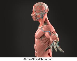 Human anatomy side view chest,black