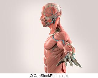 Human anatomy side view chest,grey