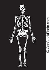 Human anatomy. Skeleton - Skeleton on black. Separate...
