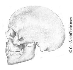 human anatomy - skull and crossbone - a sketch of human...