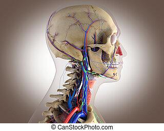 Human anatomy - structure of head brain, eyes etc