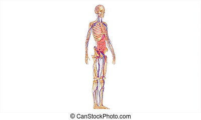 The pectoralis major is a thick, fan-shaped muscle, situated at the chest (anterior) of the human body. It makes up the bulk of the chest muscles in the male and lies under the breast in the female. Underneath the pectoralis major is the pectoralis minor, a thin, triangular muscle. In sports as well...