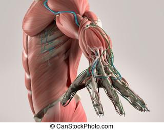 Human anatomy torso muscular system