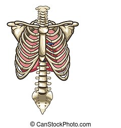 Human Anatomy Torso Skeleton Isolated White Background