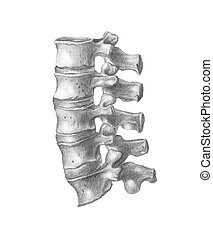 human anatomy - vertebrae - a sketch in black and white of...
