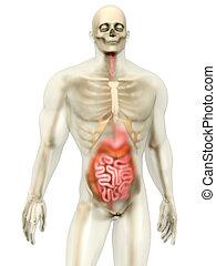 Human Anatomy visualization - Digestive system