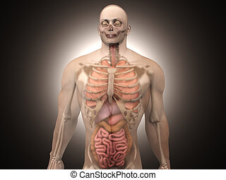 Human Anatomy visualization - Internal Organs