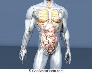 Human Anatomy visualization - Internal Organs