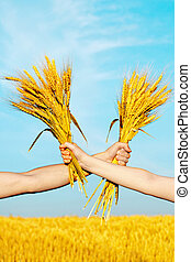 Human and woman hands holding bundle of the golden wheat ears