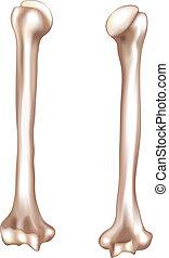 Human arm bone- humerus - Humerus- upper arm bone. Detailed...