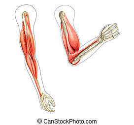 Human arms anatomy diagram, showing bones and muscles while flexing. 2 D digital illustration, On white background.