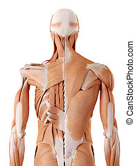 medically accurate anatomy illustration - back