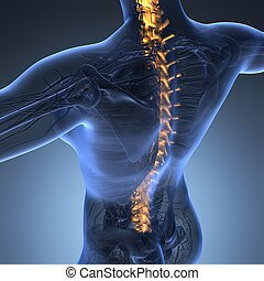 Human backache and back pain with an upper torso body skeleton showing the spine and vertebral column