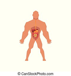 Human biological digestive system, anatomy of human body vector Illustration on a white background