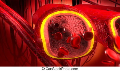 Human blood arteries and veins