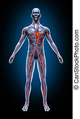 Human blood circulation in the cardiovascular System with heart anatomy from a healthy body isolated on black background as a medical health care symbol of an inner vascular organ as a medical chart for health education.