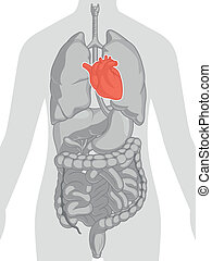 Human Body Anatomy - Heart