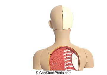 Human Body Anatomy Model Isolated on White Background