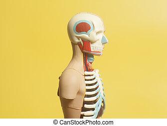 Human Body Anatomy Model on a yellow background