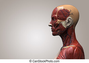 Human body anatomy of a female - human anatomy of a female ,...